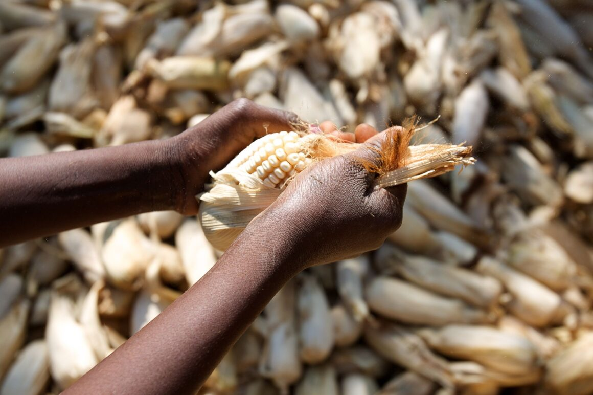 Africa_Food_Security_11_(maize) (10665081134)