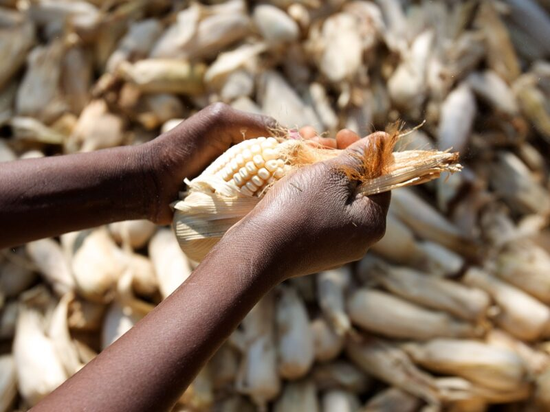 Africa_Food_Security_11_(maize) (10665081134)